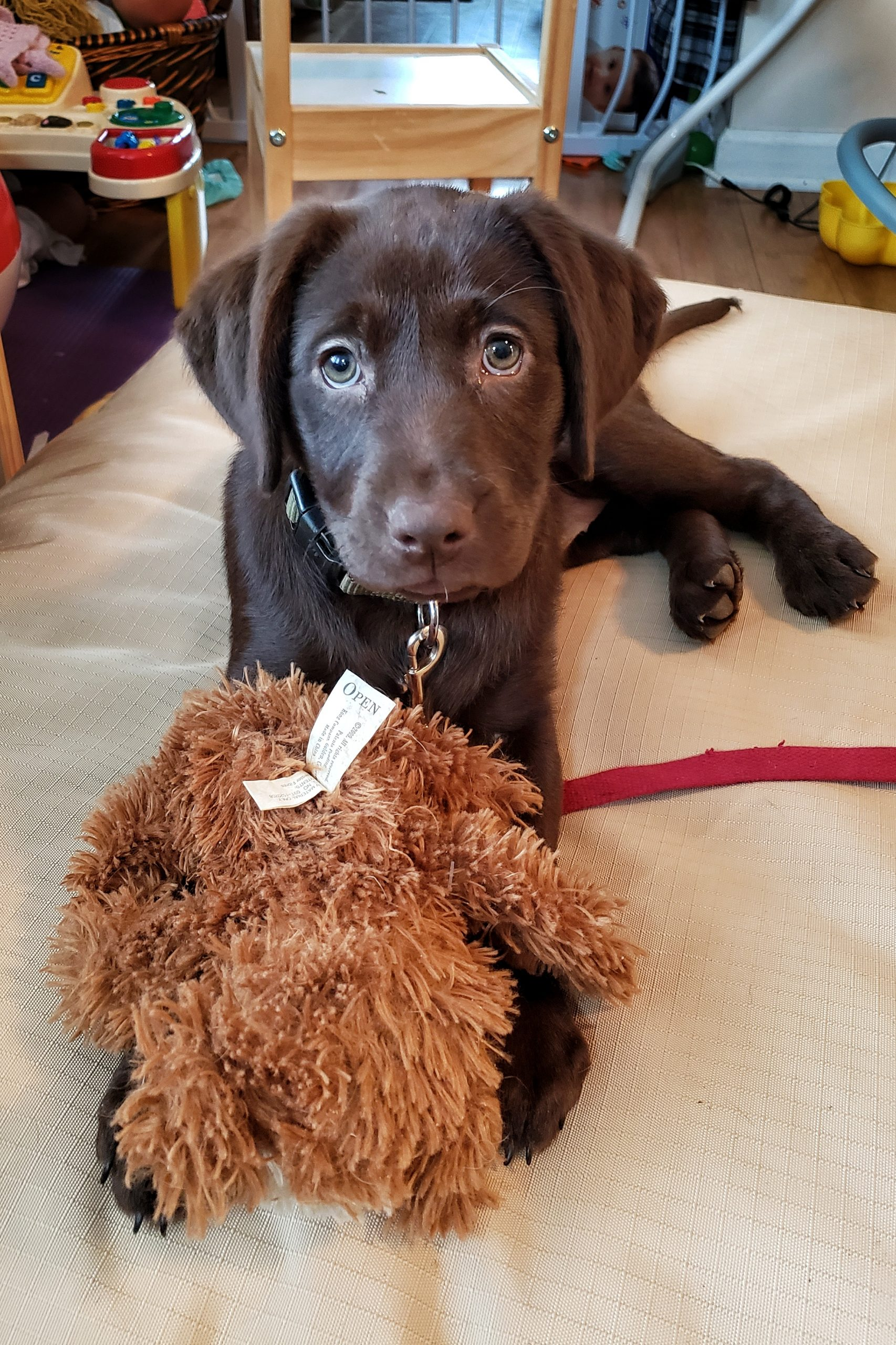 Oakley, Chocolate Lab Puppy, Puppy training for Syrius Dog