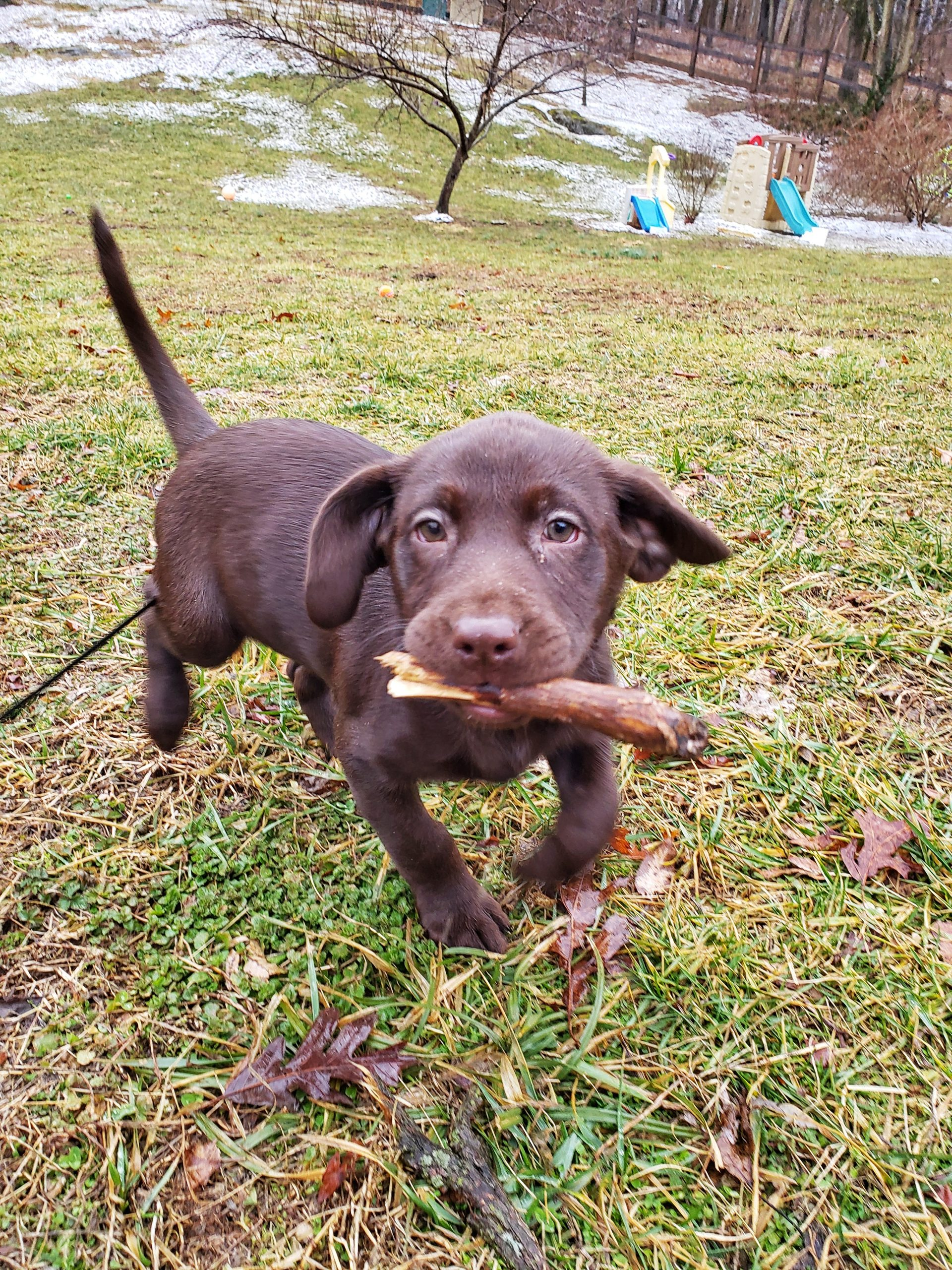 Oakley chocolate lab works recall with Syrius Dog